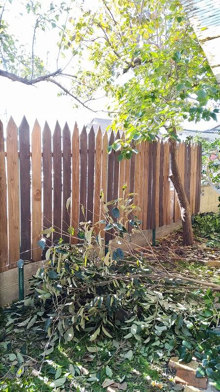 柿の木(剪定前)