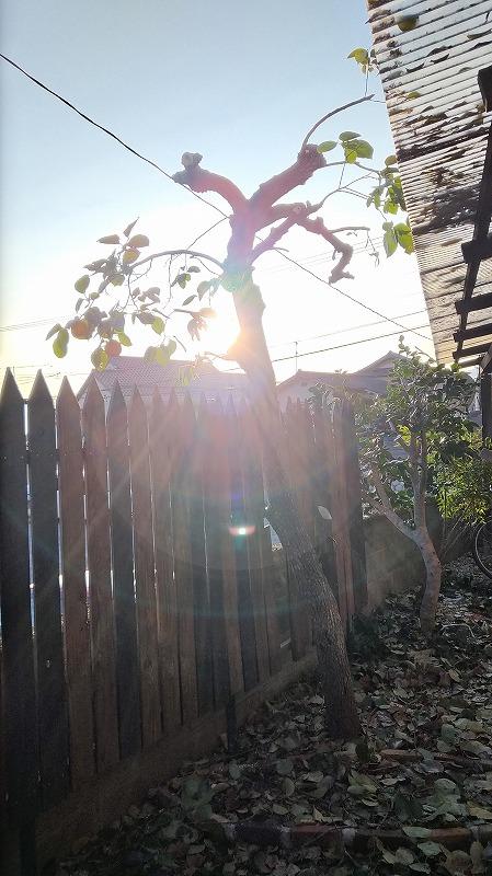 柿の木(剪定後)